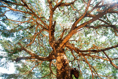 Free Ancient Tree Branches. Royalty Free Stock Photo - 43550365