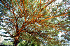 Ancient tree branches. royalty free stock photos