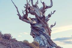 Ancient tree Stock Photography