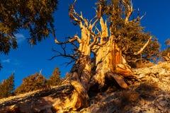 Ancient tree Royalty Free Stock Image