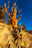 Ancient tree Stock Photo