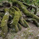 Lichen covered tree roots stock images