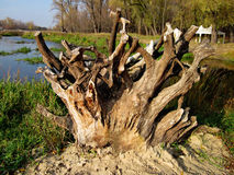 Ancient tree on lake Stock Photography