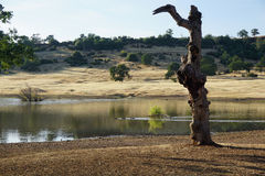 Ancient Tree by a Lake. A very old tree next a to lake with swimming ducks on a sunny day Stock Image