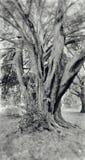 Ancient tree Royalty Free Stock Photos