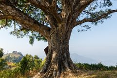 Large tree trunk. An ancient tree with a large tree trunk near the city of Bandipur, Nepal Stock Photography