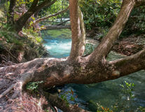 Ancient tree over the river. Aheron, Greece Royalty Free Stock Photography