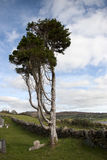 Ancient tree standing alone in an Irish graveyard. An old tall ancient tree standing alone in an Irish graveyard Royalty Free Stock Images
