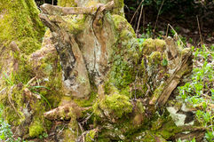 Ancient tree stump Royalty Free Stock Images