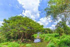 Ancient trees inside the canal in mangrove forest Royalty Free Stock Photo