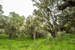 Trees with lichens and epiphytes in mountain rainforest of Tanzania stock photos