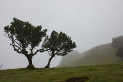 Ancient Trees in the Mist Stock Images