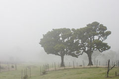 Ancient Trees in the mist Royalty Free Stock Photography
