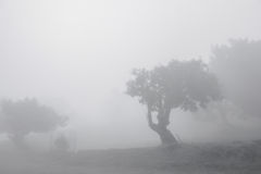 Ancient Trees in the mist Stock Image