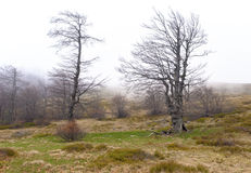 Ancient trees Stock Image