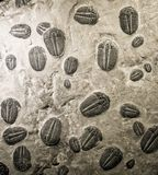 Ancient trilobites fossils Royalty Free Stock Image