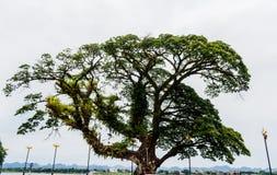 Ancient tropical rain tree Thailand.  Royalty Free Stock Photo