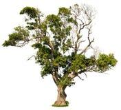 Cut out savannah tree. Ancient tree