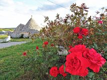 Ancient Trulli, traditional very old houses with red roses and other aromatic plants royalty free stock images