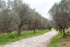 Ancient way through an olive grove, Sparta, Greece, Europe. Ancient way through an olive grove on a cloudy day, Sparta, Greece, Europe Stock Image