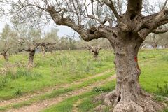 Ancient way through an olive grove, Sparta, Greece, Europe. Ancient way through an olive grove on a cloudy day, Sparta, Greece, Europe Royalty Free Stock Photo