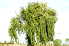 Ancient willow tree on sky background Stock Photography