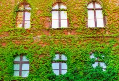 An ancient window with a lattice, an old building overgrown with growths, green walls, ivy ordinary. beautiful background of livin stock photography