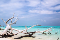 Ancient withered tree lays on the ocean beach under a blue sky. Of Maldives Stock Photography