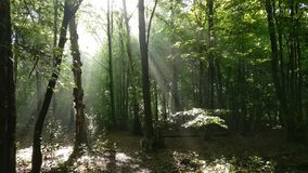 Ancient Woods. Early morning in ancient woods, England, with shafts of sunlight Royalty Free Stock Images
