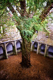 Ancient yew tree in center of Muckross Abbey, Killarney, Co. Kerry in Ireland. This magnificent ancient yew tree rises from the centre of the cloisters of Stock Images