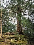 Ancient yew tree growing on top of a rock outcrop in a park Royalty Free Stock Images