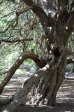 Ancient Yew tree at Kingley Vale. Yew trees at Kingley Vale in the South Downs National Park in the United Kingdom are some of the oldest yew trees in the World Stock Photos