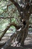 Ancient Yew tree at Kingley Vale. Stock Photos