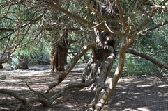 Ancient Yew tree at Kingley Vale. Royalty Free Stock Images