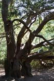 Ancient Yew tree at Kingley Vale. Yew trees at Kingley Vale in the South Downs National Park in the United Kingdom are some of the oldest yew trees in the World Stock Photo