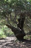 Ancient Yew tree at Kingley Vale. Royalty Free Stock Photography