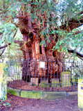 Ancient Yew tree at St.Helen's church, Derbyshire. Stock Photo