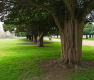 Ancient Yew trees at Hampton Court. Ancient Yew trees in Hampton Court Palace gardens, England showing massive ribbed trunks and subdued light under the tree Royalty Free Stock Photos