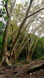 Ancients drzewa w outside Barcelona Zdjęcia Stock