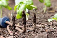 Ancinho de jardim com manjericão Imagens de Stock