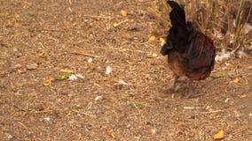 Ancinho do galo a terra à procura do alimento vídeos de arquivo