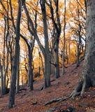 Ancint森林地在与金黄颜色的秋天在高山毛榉树 免版税图库摄影