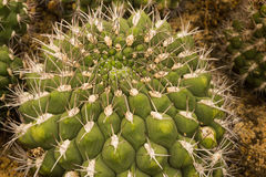 Ancistrocactus cacti Royalty Free Stock Photo
