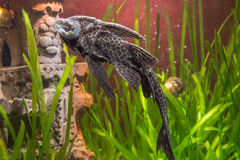Ancistrus clung to the wall of the aquarium Royalty Free Stock Images