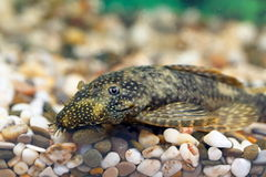 Ancistrus dolichopterus Royalty Free Stock Photos