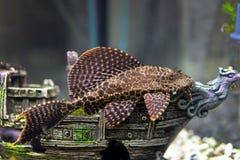 Ancistrus dolichopterus Stock Photos