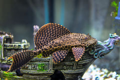 Ancistrus dolichopterus Royalty Free Stock Photography
