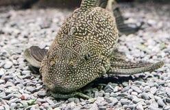 Catfish Ancistrus Plecostomus Royalty Free Stock Image
