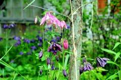 Ancolie de floraison Photo stock