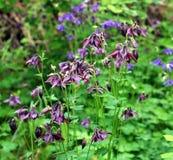Ancolie de floraison Image stock
